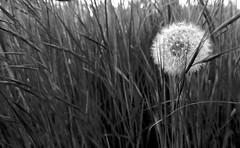 Unique [explored] (Alessio Bertolone) Tags: fiore flower dandelion tarassaco bianco biancoenero white blackandwhite bn bw nero black rain pioggia gocce drops minimalismo dettagli details acqua water macro clouseup piemonte it italy italia composizione composition inexplore explored minimalism