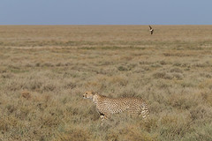 Cheetah Searches Horizon for Prey... (Hector16) Tags: africa nomad safari acinonyxjubatus outdoors tanzania ndutu drought wildlife serengeti shinyangaregion tz