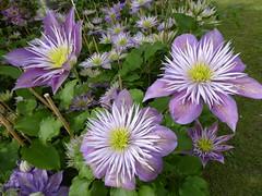 Clematis Fairy Blue. (Fijgje On/Off) Tags: clematis clematisfairyblue bloem fijgje panasonicdmctz60 mei2017 ngc npc