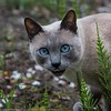 Cat (kimbenson45) Tags: siamese animal blue cat closeup differentialfocus eyes garden green head nature pet shallowdepthoffield tongue whiskers