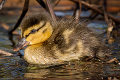 Baby Duck (Explored) (soupie1441) Tags: london ontario canada nikon d7200 nikkor 200500mm bird duck duckling baby spring nature wildlife cute