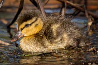 Baby Duck (Explored)