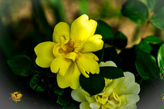 early yellow rose (yaz62) Tags: flowersplants april2017 rose