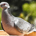 Band Tail Pigeon