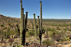 From a Rise and Looking Across a Hillside of Saguaro Cactus (Saguaro National Park)