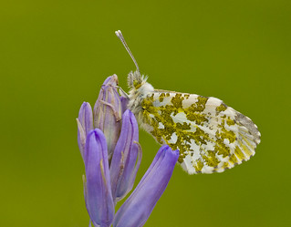 Orange - tip Anthocharis cardamines