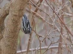 Black-and-White Warbler Headed Down A Tree (Bill Bunn) Tags: blackandwhitewarbler portland maine