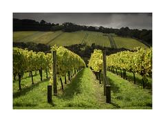 Autumn gold (jen 3163) Tags: autumn autumnal fall vines vineyard winery morningtonpeninsula