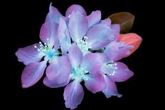 Prunus Unknown 1 (C. Burrows) Tags: uvivf flower glowing surreal