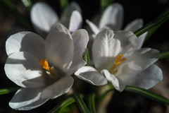 Snow Crocus (San Francisco Gal) Tags: crocus flower bloom blossom fleur macro snowcrocus spring ngc npc