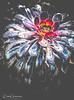 Aeonium Arboreum 'Zwartkop' ( Black Rose ) At Packwood House (Peter Greenway) Tags: blackrose nt flickr packwoodhouse petergreenway halftimbered zwartkop aeoniumarboreum ntproperty manorhouse flower nationaltrust floral fleur botanic botanical nature bright petal bloom plant garden tropical