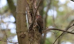 Northern Flicker at Thickson's Woods (Female) (praja38) Tags: climb trunks trees woodpecker northernflicker flicker wild life wildlife nature feathers feather winds wing female capricorn caps humour canadian canada ontario whitby thicksonswoods forest