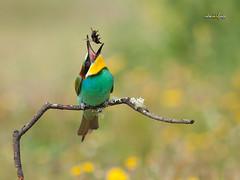 El valor del momento (fridakahlo_lb) Tags: abejaruco primavera birds birdwatching naturaleza nikon nature naturalezaviva meropsapiaster faunasilvestre faunasalvaje avifauna aves