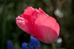 Rosa Tulpe nach dem Regen - Pink tulip after the rain (riesebusch) Tags: berlin garten marzahn