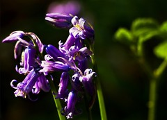 Where there's light there's hope (helliemelhuish) Tags: bluebells flowers fantasticflower nature
