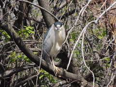 Black-crowned Night Heron (Two Cats Productions) Tags: