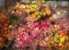 Bundles of Buds (Susan Liepa) Tags: california carlsbad flowerfields day flowers plants ranunculus ranunculii
