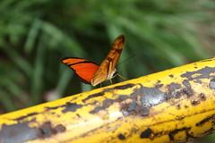 Borboleta bairro São João JM - Wir Caetano - 26 04 2017 (6) (dabliê texto imagem - Comunicação Visual e Jorn) Tags: borboleta inseto amarelo escada ferrugem