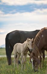 wild horse satisfaction-8846 (Jami Bollschweiler Photography) Tags: wild horse photography horses onaqui herd utah wildlife beautiful stallions colt baby sunset stomping water palomino west desert great basin