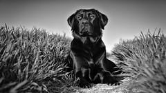 beauty girl bw (uwe.kast) Tags: labrador labradorretriever labradorredriver dog hund haustier wiese gras frühling nikon nikond600 d600 black blackandwhite