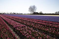 Color (toekneestuck) Tags: fields netherlands tulipfields color flowers