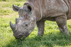Black Rhino (DJWilson UK71) Tags: blackrhino yorkshirewildlifepark
