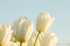 MDD_9179 (Martin Dijkman Dulkes) Tags: 2017 anna paulowna bloemen bloemendagen breezand flowers groot holland large nederland netherlands plants sunny tulipfields tulips tulpen tulpenvelden zon