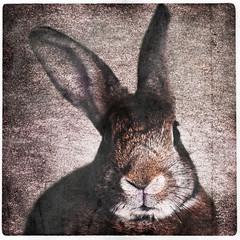 Bunny (Jeric Santiago) Tags: animal bunny conejo hase kaninchen lapin pet rabbit rabbitportrait winterrabbit うさぎ 兎