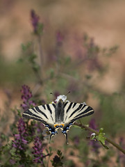 Au pays de la terre rouge *-*-- ° (Titole) Tags: flambé butterfly papillon scarceswallowtail titole nicolefaton storybookwinner