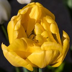 Gelbe gefüllte Tulpe - Yellow double tulip (riesebusch) Tags: berlin garten marzahn