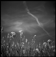 dancing in the wind (ukke2011) Tags: hasselblad503cw planarcfe8028 rolleirpx25 selfdeveloping rodinal film pellicola 6x6 square bw 120 mediumformat