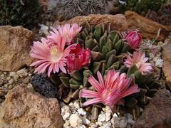 Aloinopsis spathulata hybrid DSC09092 (sierrarainshadow) Tags: aloinopsis spathulata hybrid