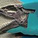 Enchodus sp. (fossil fish) (Kansas, USA)