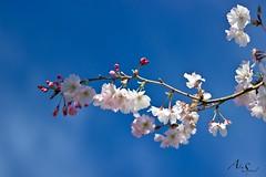Fleur de cerisier (Aline Sprauel Photography (AS photos)) Tags: photography alinesprauel canon photo photographe