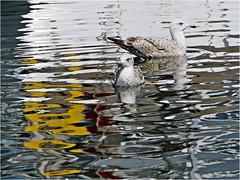 (tanglemay) Tags: seagulls waterreflection