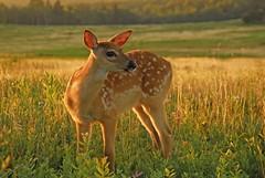 Big meadows, Shenandoah National Park, Virginia (jkrieger84) Tags: nikon d200 landscape nature shenandoah fawn shenandoahnationalpark bigmeadows skylinedrive virginia