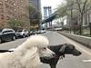 Manhattan bridge (VanaTulsi) Tags: vanatulsi weim weimaraner dog blueweim blueweimaraner