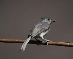 Tufted Titmouse (Tex-Mex Birds) Tags: tuftedtitmouse texasbirds huntwick huntwickbirds houston houstonnature jamesbatt