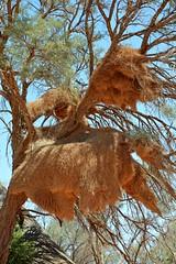 Sociable Weavers nest - the largest built by any bird! (One more shot Rog) Tags: weavers weaver weaverbird socialweaver namibia namibianbirds africa large nests nest wildlife nature birds onemoreshotrog rogersargentwidllifephotographytrees tree sociableweaverbird sociableweaver