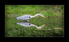 Reflected symmetry (tkimages2011) Tags: olympus digital camera sankey valley park sthelens merseyside heron water reflection symmetry grass bird green