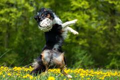 Dancing with my ball (Flemming Andersen) Tags: animal fetch mælkebøtter outdoor spring yatzy yellow ball dancing dandelions dog flower nature pet jelling regionsyddanmark denmark dk