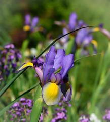Be happy, it drives people crazy.... :)  . (knoxnc) Tags: flower purpleiris flowergarden iris closeup nikon d7200 spring sunlight bokeh dukegardens durham northcarolina