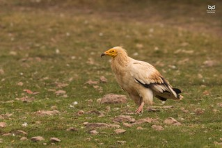 Abutre do Egipto, Egyptian Vulture (Neophron percnopterus)