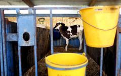 pawu016 (Otwarte Klatki) Tags: krowa krowy mleko zwierzęta cielak ferma andrzej skowron
