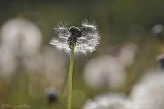 Fluffy (Manon van der Burg) Tags: lentekriebels springtime catchingsomesun languit lowpov sigma105mm canon80d macrofotografie fuzzy fluffy eenveldvol langshetpad depthoffield bokeh macro ochtendzon uitgebloeidepaardebloem pluisjes