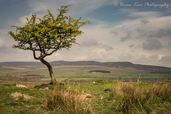 A Tree In A Landscape (.Brian Kerr Photography.) Tags: northumberland photography landscapephotography zeiss loxia 50mmf2 sony a7rii landscape tree simonside simonsidehills walking hiking rothbury outdoor outdoorphotography nature naturallandscape natural clouds sky spring springtime springwatch fields englishlandscapes uk colour fresh availablelight