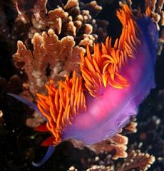 Flabellina iodinea from Carpinteria, CA (willgoddard) Tags: flabellina iodinea tarpitsreef aeolid nudibranch seaslug slug californiacoast ocean tidepools intertidal