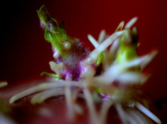 the eyes have it! (Winter Ghosts) Tags: macro macromondays seed eye eyes potato propigate roots purple green white red