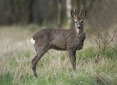 Roe Deer buck (Wouter's Wildlife Photography) Tags: roedeer deer capreoluscapreolus animal mammal nature naturephotography wildlife wildlifephotography buck male rådyr ree pattedyr billund rain
