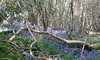 Bluebells (kitradioco) Tags: bluebells blue plants floweres wild wildflowers forest wood woods trees flora fawna woodland spring 2017 may krc